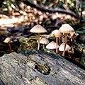 Leeuwenhorstbos - Paddenstoelen op boomstam - Fraaisteelmycena (Mycena inclinata).jpg