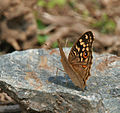 Lemon Pansy (Junonia lemonias) at Jayanti, Duars, West Bengal W Picture 277.jpg