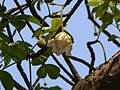 Lemonade tree (482356129).jpg