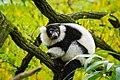 Lemur (24168857828).jpg