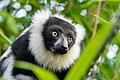 Lemur (24677047868).jpg