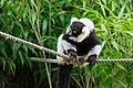 Lemur (36040357203).jpg
