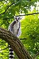 Lemur (36276422493).jpg