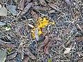 Leocarpus fragilis 56736406.jpg