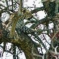 Leopard (Panthera pardus) female resting in a tree ... (51218361685).jpg