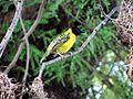Lesser Masked Weaver (33360731083).jpg