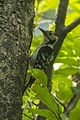 Lesser Spotted Woodpecker - Italy S4E5933 (16410503565).jpg