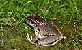 Lesueurs Tree Frog (Litoria lesueuri) (8397021987).jpg