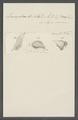 Leucophra dilatata - - Print - Iconographia Zoologica - Special Collections University of Amsterdam - UBAINV0274 113 16 0020.tif