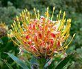 Leucospermum cordifolium Veldt Fire 1.jpg