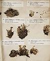 Lichenes Helvetici I II 1842 024.jpg
