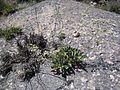 Limonium cossonianum.JPG
