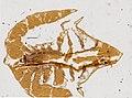 Limulus polyphemus (YPM IZ 098244) 002.jpeg