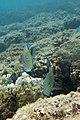Lined surgeonfish Acanthurus lineatus (striped surgeonfish) (5846786387).jpg