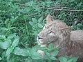 Lion from Bannerghatta National Park 8483.JPG