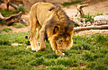 Lion in the Denver Zoo.jpg