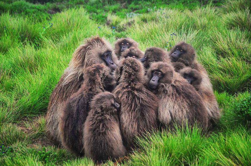 File:Listen Up, Gelada Baboons (13887149686).jpg
