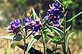 Lithospermum purpurocaerullea Pueple Gromwell კაკბის საკენკელა.JPG