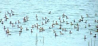 Singanallur Lake - Image: Little Grebe Singanallur Lake Coimbatore