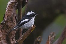 Little Pied Flycatcher Khangchendzonga Biosphere Reserve West Sikkim India 30.03.2016.jpg