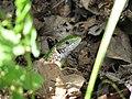Lizard (3887499214).jpg