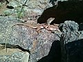 Lizard Alvan Mountains.jpg