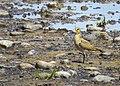 Ljungpipare European Golden Plover (14796051679).jpg