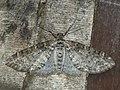 Lobophora halterata - The Seraphim - Лопастная пяденица серая (27084976948).jpg