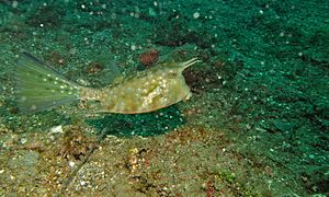 Long-horn Cowfish (Lactoria cornuta) (6059578438).jpg