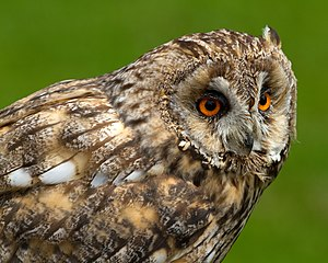 Ravishing Fauna Of Great Britain  Wikipedia With Engaging A Long Eared Owl In The Uk With Captivating Slide Garden Also China Garden Portsmouth In Addition Garden Center Milton And Long Meadow Garden As Well As Directions To Hatton Garden Additionally Garden Purchase From Enwikipediaorg With   Engaging Fauna Of Great Britain  Wikipedia With Captivating A Long Eared Owl In The Uk And Ravishing Slide Garden Also China Garden Portsmouth In Addition Garden Center Milton From Enwikipediaorg