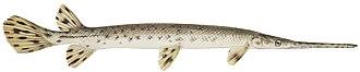 Actinopteri - Image: Longnose gar flipped
