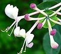 Lonicera caprifolium ENBLA05.jpg