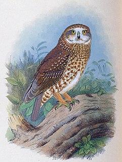 Lord Howe boobook Extinct subspecies of bird