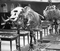 Los Angeles Museum of Natural History showing displays of prehistoric skeletons, a mastodon and giant ground sloth, ca.1920 (CHS-5699).jpg