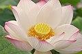 Lotus 003.jpg
