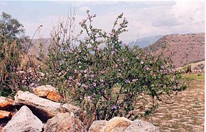 Lycianthes lycioides Pitunilla janv 2005.JPG