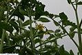Lycopersicon lycopersicum Better Boy 3zz.jpg