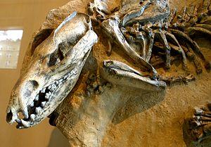 Metatheria - Lycopsis longirostris, an extinct sparassodont, a relative of the marsupials