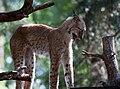 Lynx Stretching.jpg