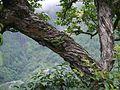 Lyonia ovalifolia (7787013130).jpg