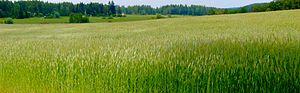 Vihti - A grain field in Vihti