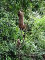 Macaca sinica in Dambulla 03.JPG