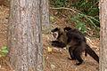 Macaco-prego Manduri 151207 REFON.jpg
