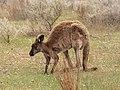 Macropus fuliginosus (44572239082).jpg
