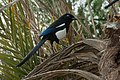 Maghreb Magpie - Morocco 2007 0026 (43211495081).jpg
