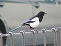 Magpie in Madrid (Spain) 53.jpg