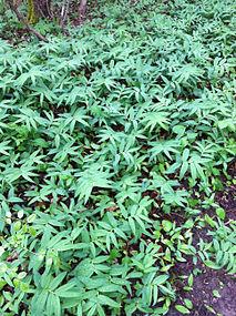 Maianthemum stellatum SCA-0117.jpg