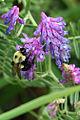 MaineBumblebee.jpg