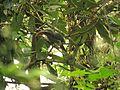 Malabar Grey Hornbill IMG 1572.jpg