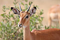 Male impala headshot.jpg